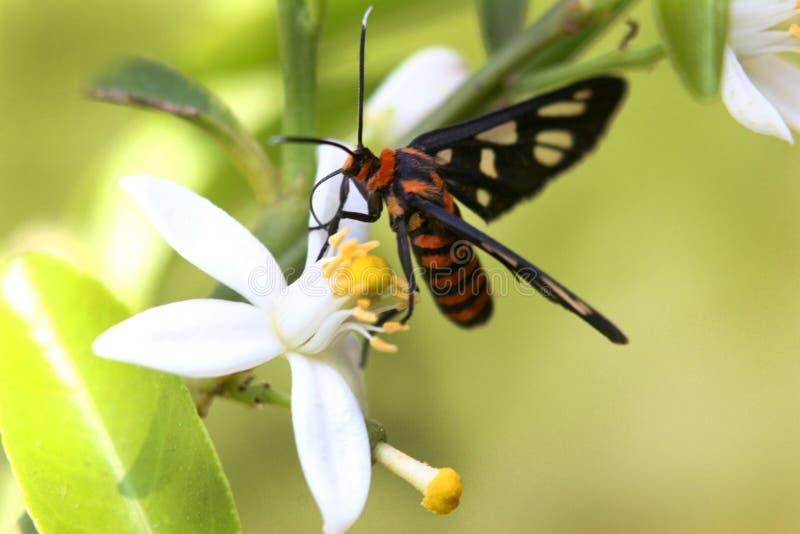 Mariposa de la polilla en las flores del limón de la fruta cítrica imagen de archivo libre de regalías