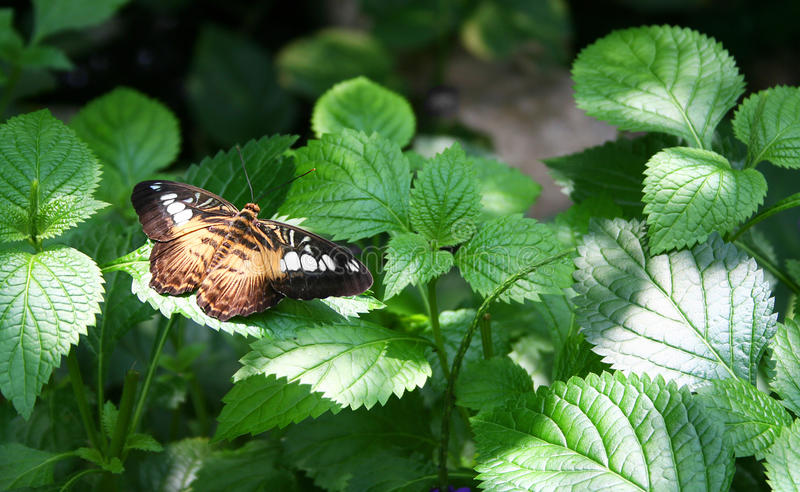 Mariposa de las podadoras fotografía de archivo