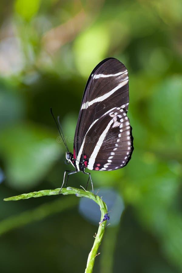 Mariposa de Longwing de la cebra fotos de archivo
