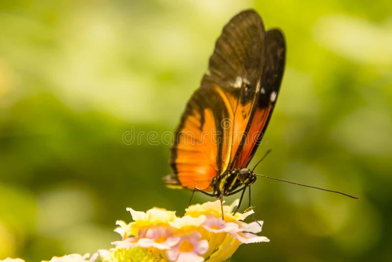 Mariposa de Longwing que alimenta en Lantana fotografía de archivo