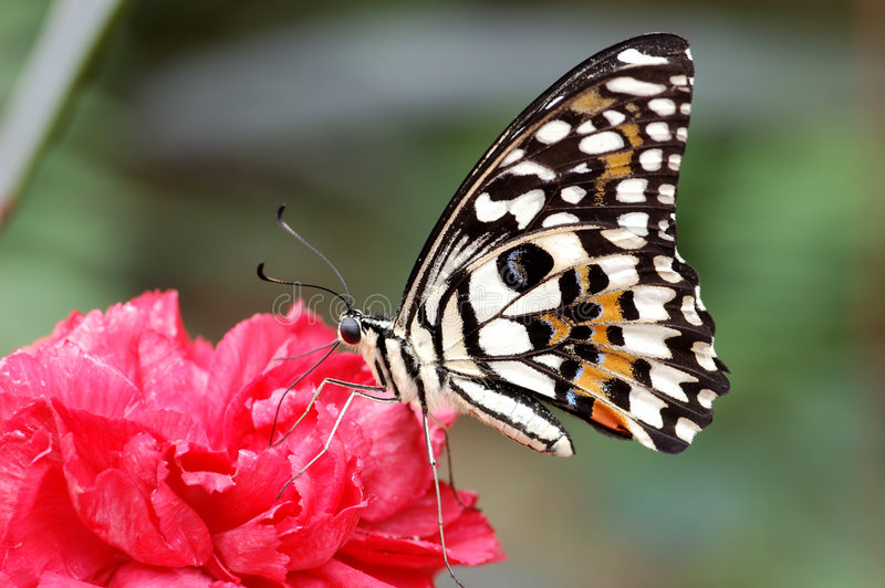 Mariposa de monarca imagen de archivo