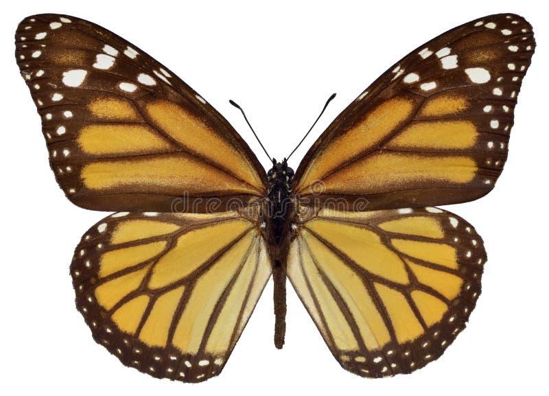 Mariposa de monarca aislada imagen de archivo