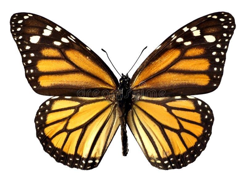 Mariposa de monarca aislada imagen de archivo libre de regalías
