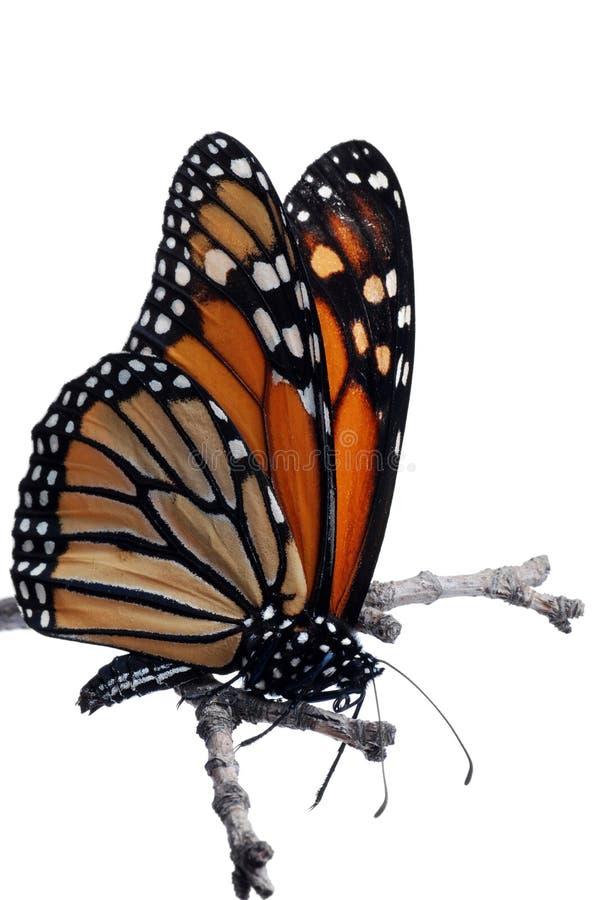 Mariposa de monarca aislada en una ramificación fotos de archivo