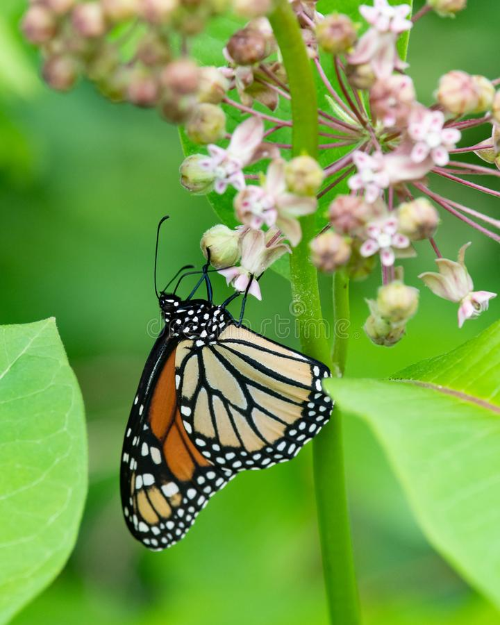 Mariposa de monarca colorida en las flores del milkweed fotografía de archivo