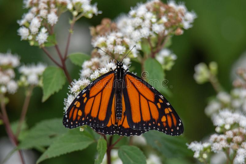 Mariposa de monarca con su extensión de las alas fotografía de archivo libre de regalías