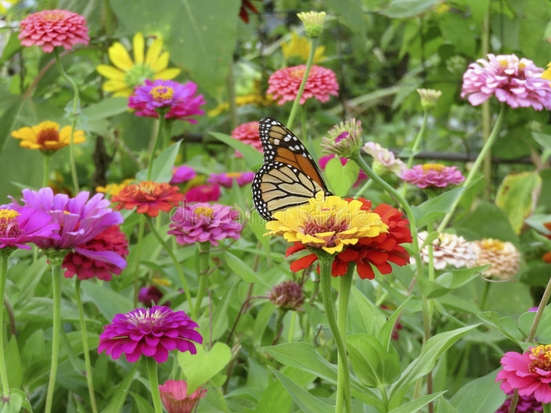 Mariposa de monarca del verano en el jardín del Zinnia imagenes de archivo
