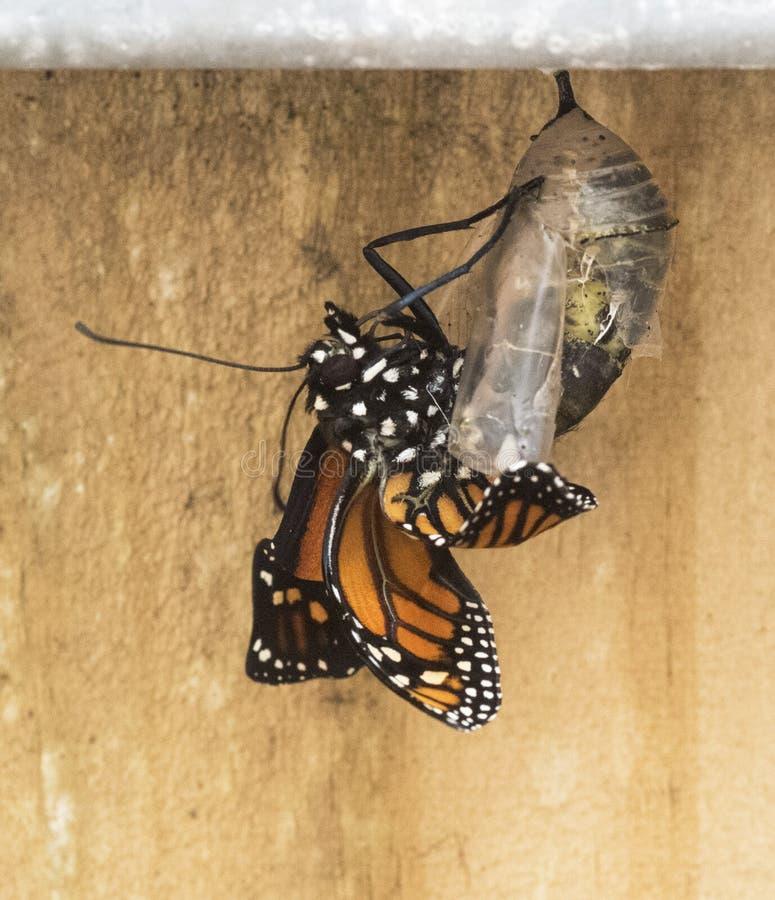 Mariposa de monarca emergente de la crisálida fotos de archivo libres de regalías