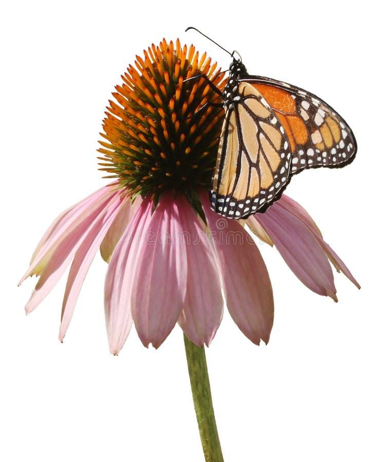 Mariposa de monarca en Coneflower foto de archivo