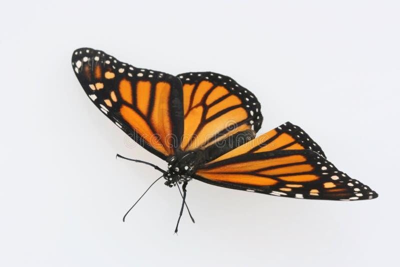 Mariposa de monarca en el fondo blanco imágenes de archivo libres de regalías