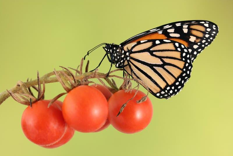 Mariposa de monarca en el tomate de cereza fotos de archivo libres de regalías