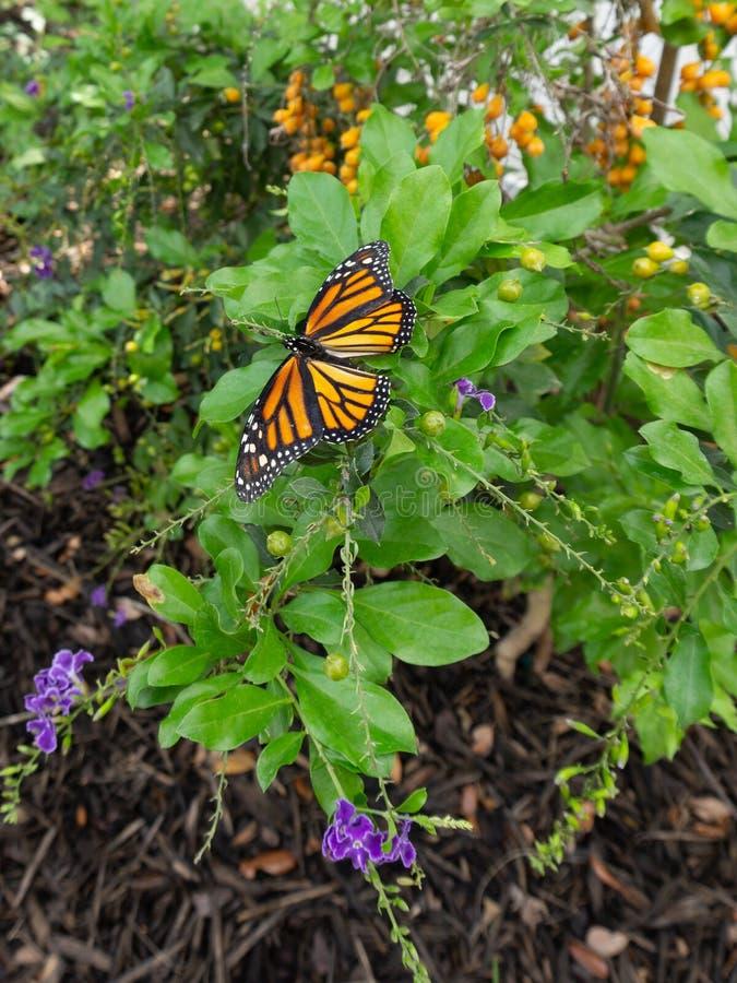 Mariposa de monarca en el zafiro del duranta imágenes de archivo libres de regalías