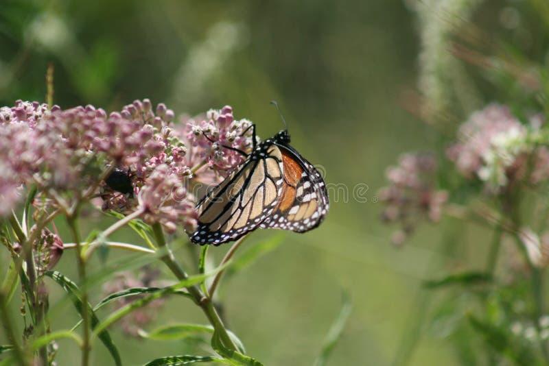 Mariposa de monarca en Forest Park 2019 III fotos de archivo libres de regalías