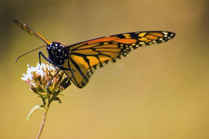 Mariposa de monarca en la flor imagen de archivo libre de regalías