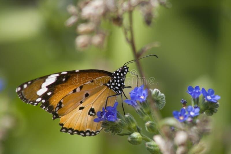 Mariposa de monarca en la flor azul imagenes de archivo