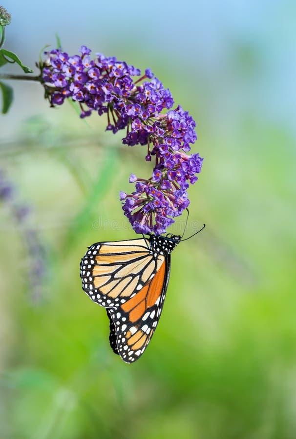 Mariposa de monarca en la flor del arbusto de mariposa imagenes de archivo