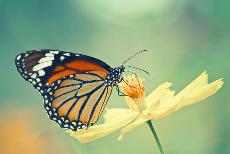 Mariposa de monarca en la flor del cosmos imágenes de archivo libres de regalías