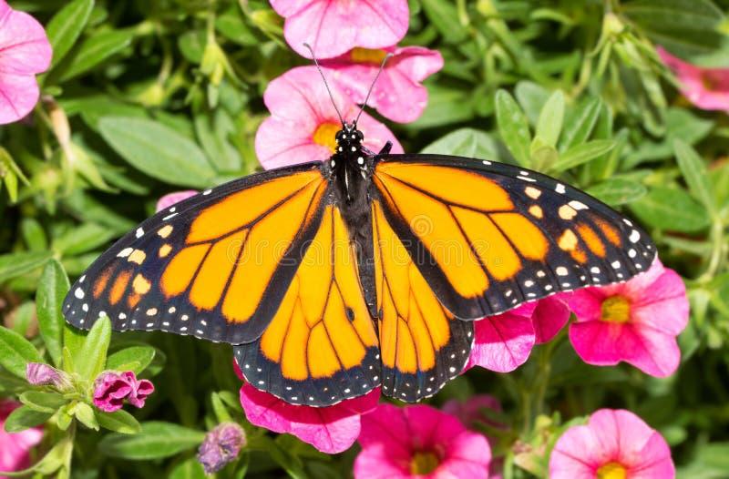 Mariposa de monarca en las floraciones rosadas de Calibrachoa imágenes de archivo libres de regalías