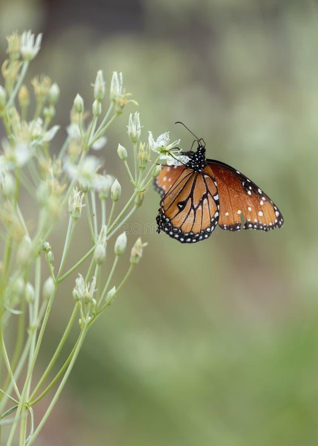 Mariposa de monarca en las flores elkweed foto de archivo