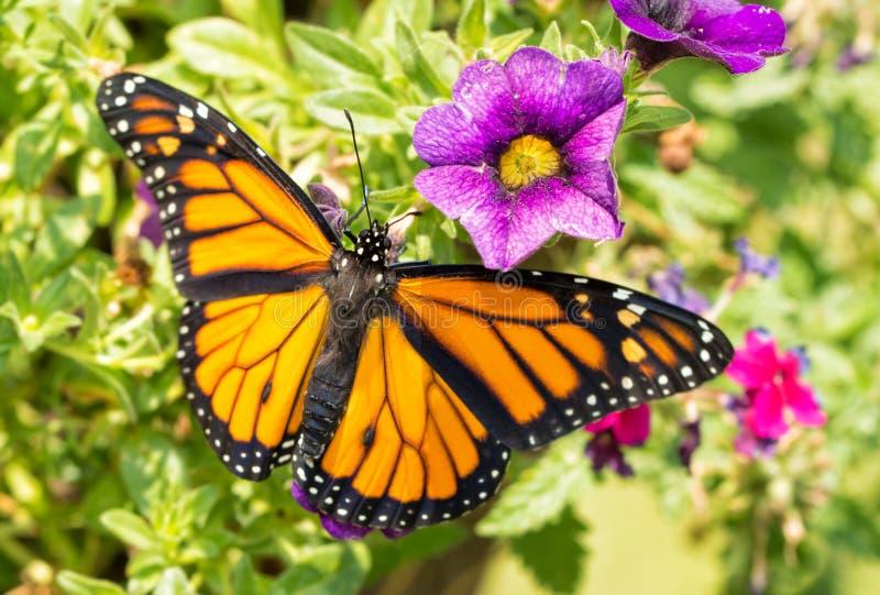 Mariposa de monarca en las flores púrpuras imagen de archivo