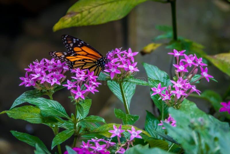 Mariposa de monarca en las flores rosadas imagenes de archivo