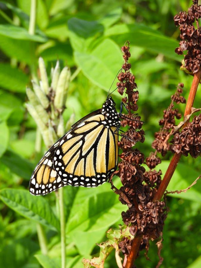 Mariposa de monarca en las semillas marrones de la planta rizada del muelle foto de archivo libre de regalías
