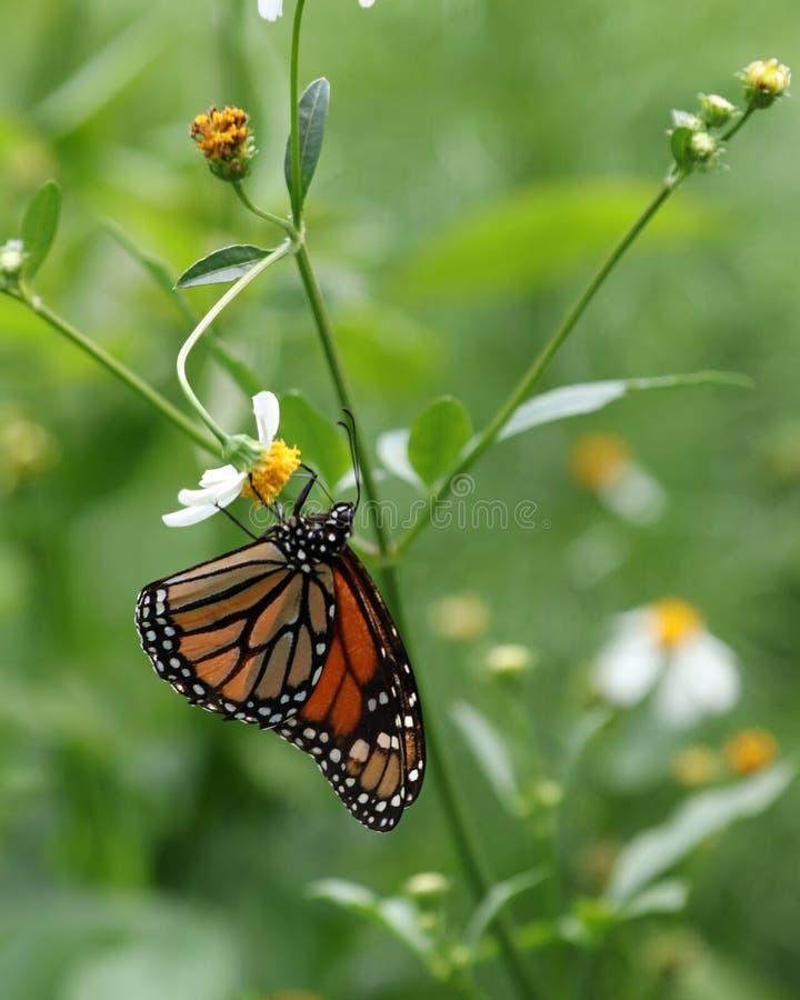 Mariposa de monarca en perfil en las flores imagen de archivo libre de regalías