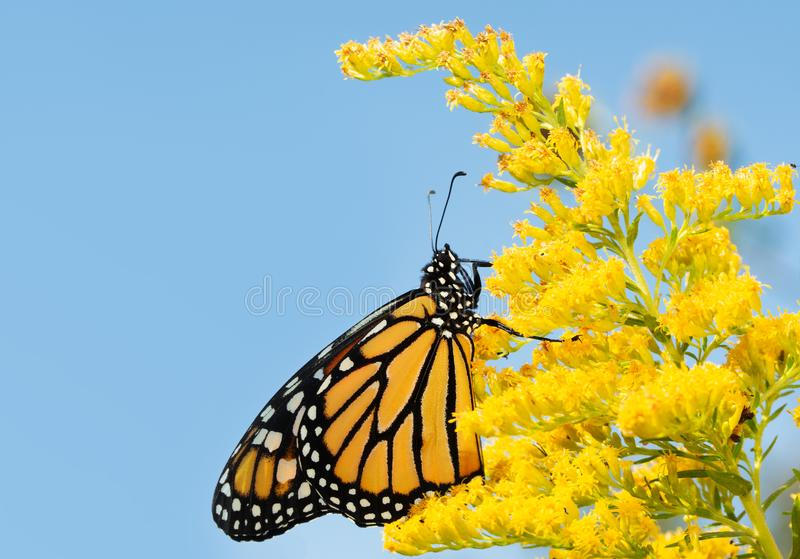 Mariposa de monarca en una flor amarilla oscura en caída foto de archivo