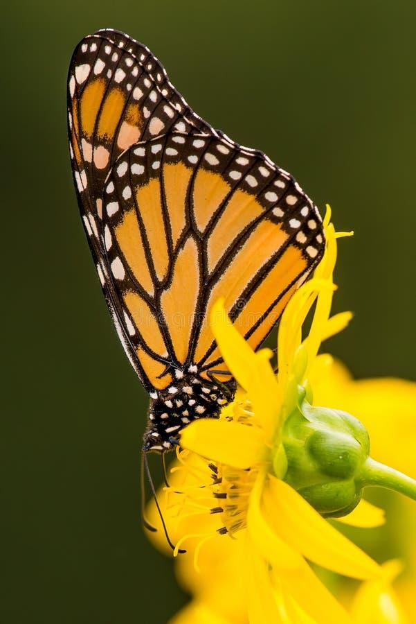 Mariposa de monarca en wildflower amarillo en Theodore Wirth Park en Minneapolis, Minnesota imagen de archivo libre de regalías