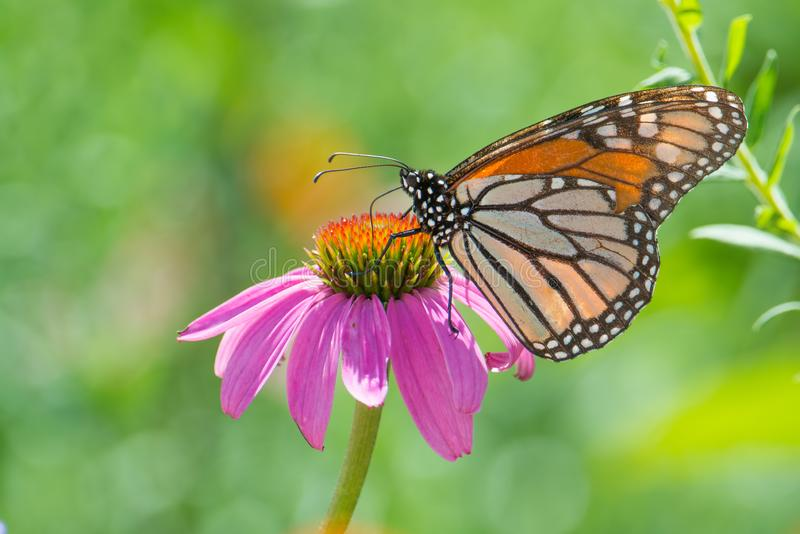 Mariposa de monarca en wildflower púrpura en la reserva nacional del valle de Minnesota foto de archivo