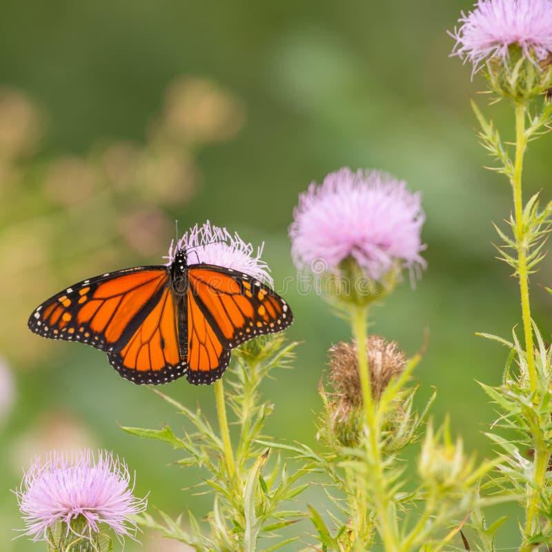 Mariposa de monarca en wildflower púrpura en Theodore Wirth Park en Minneapolis, Minnesota fotografía de archivo libre de regalías