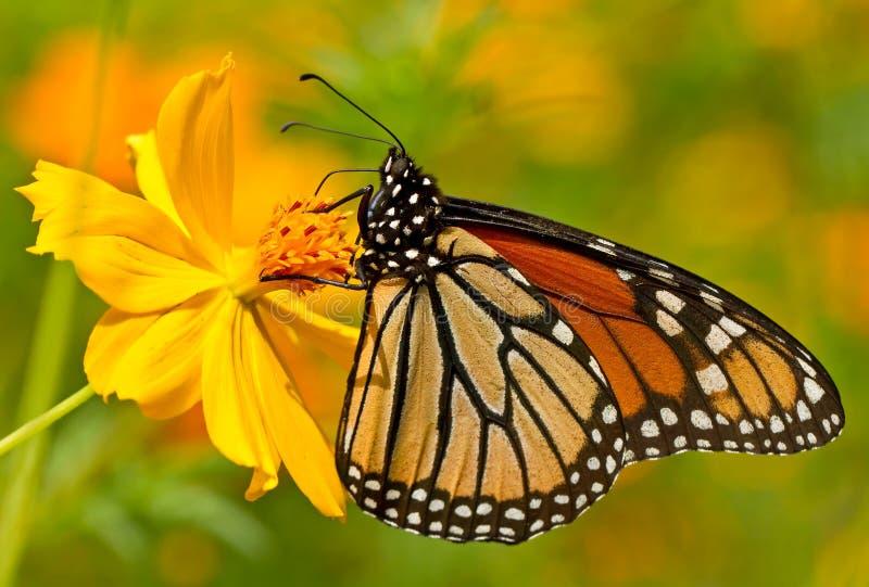 Mariposa de monarca encaramada en la flor amarilla imágenes de archivo libres de regalías