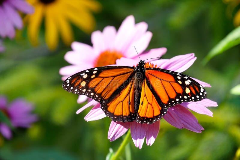 Mariposa de monarca hermosa en la flor fotos de archivo libres de regalías