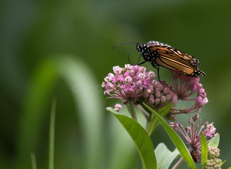 Mariposa de monarca hermosa encaramada bajo en Milkweed fotos de archivo