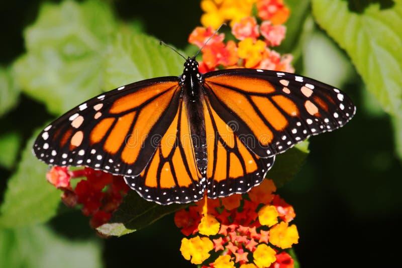 Mariposa de monarca (plexippus del danaus) en las flores fotografía de archivo