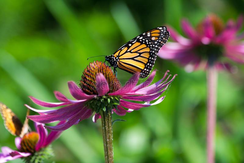 Mariposa de monarca que alimenta desde la flor foto de archivo