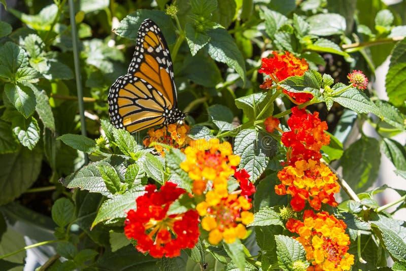 Mariposa de monarca que alimenta en Lantana amarillo y rojo fotografía de archivo libre de regalías