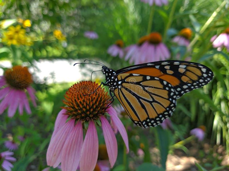 Mariposa de monarca que busca para el polen en los wildflowers foto de archivo libre de regalías