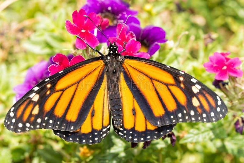 Mariposa de monarca que descansa sobre una flor magenta de la verbena fotografía de archivo libre de regalías