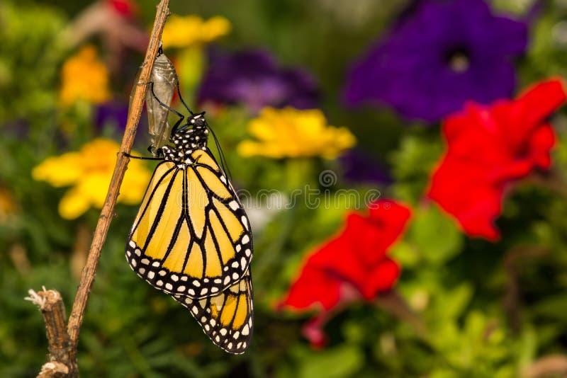 Mariposa de monarca que emerge imágenes de archivo libres de regalías