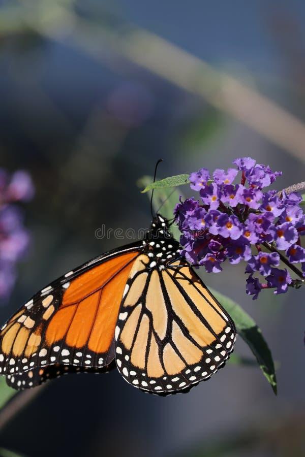 Mariposa de monarca que recolecta el néctar a partir de una caída del arbusto de mariposa de 2018 imagen de archivo libre de regalías