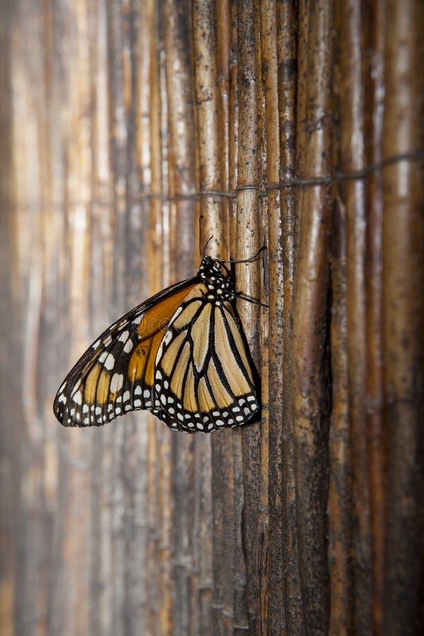 Mariposa de monarca sobre fondo de mimbre imágenes de archivo libres de regalías
