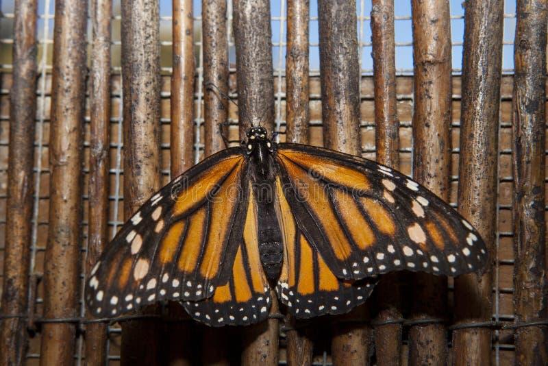 Mariposa de monarca sobre fondo de mimbre fotos de archivo libres de regalías
