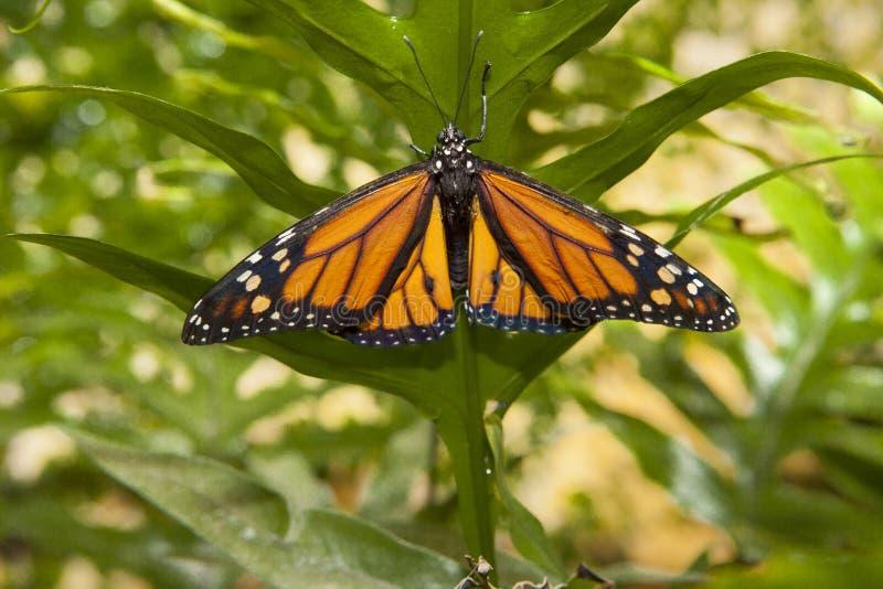 Mariposa de monarca sobre verde fotografía de archivo