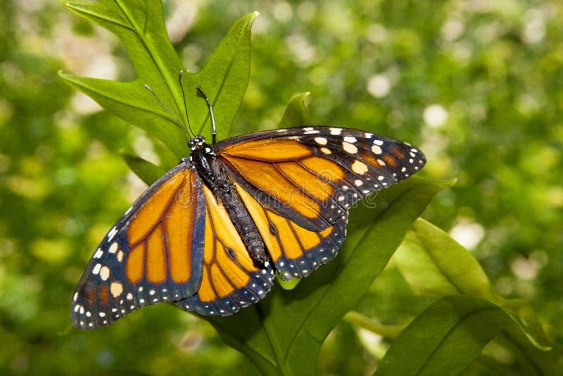 Mariposa de monarca sobre verde foto de archivo