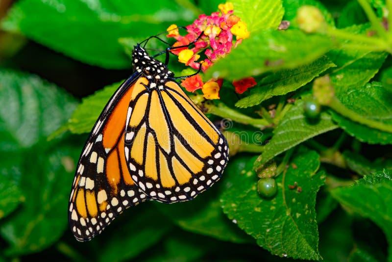 Mariposa de monarca y x28; Plexippus& x29 del Danaus; En Lantana fotografía de archivo