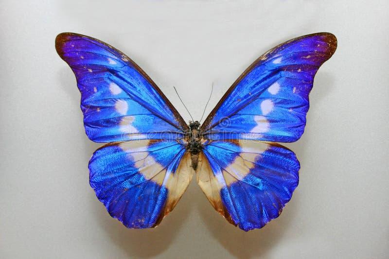 Mariposa de Morpho Helena imagenes de archivo
