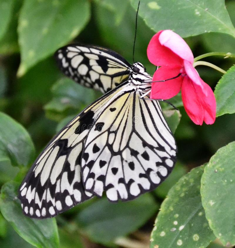Download Mariposa De Papel De La Cometa Imagen de archivo - Imagen de fauna, cometa: 44857233