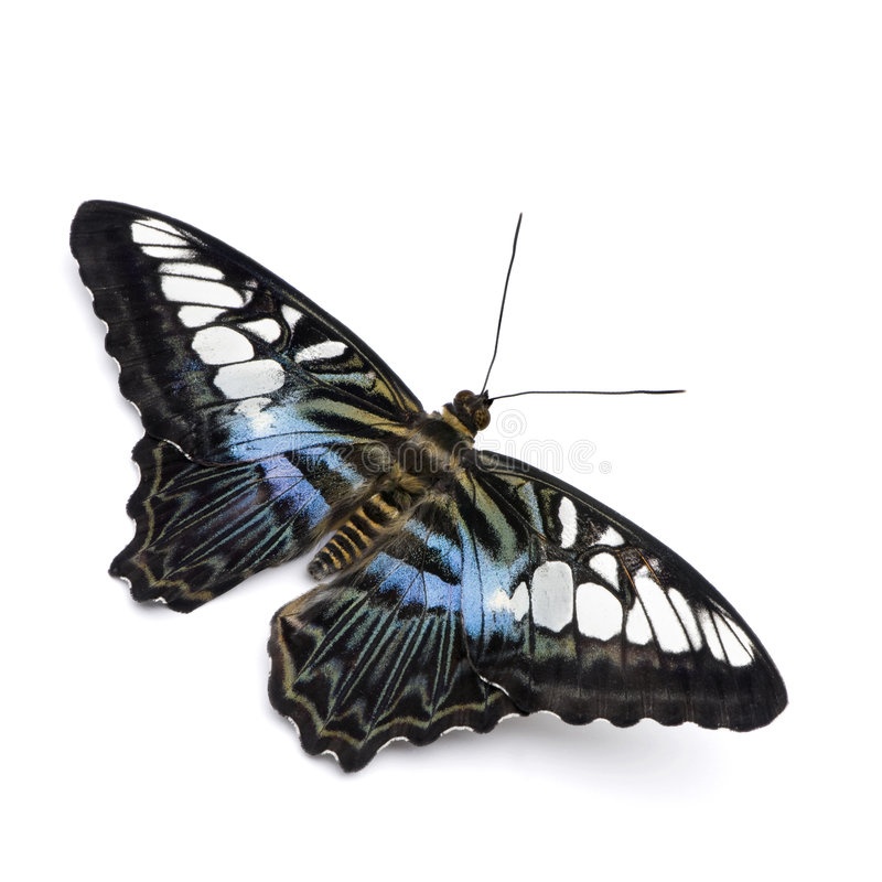 Mariposa de Parthenos Sylvia fotos de archivo libres de regalías