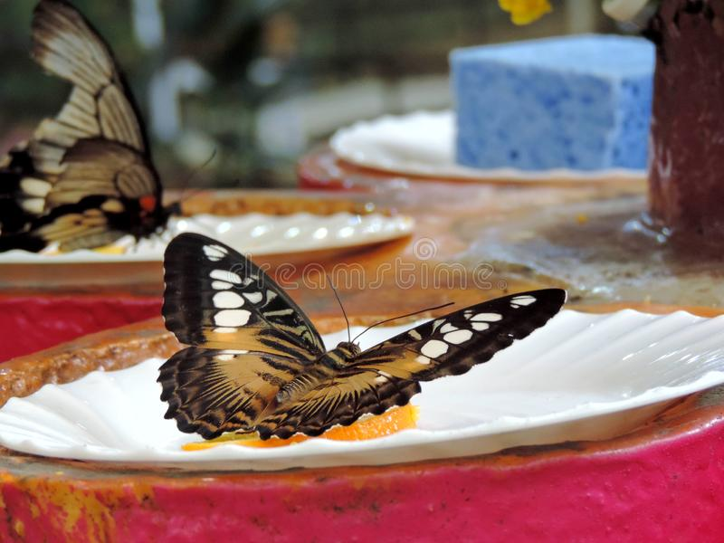 Mariposa de Parthenos Sylvia dentro del jard?n de la mariposa de Dubai imagenes de archivo